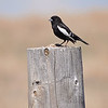 Lark Bunting...Colorado State Bird!!