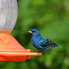 The indigo buntings seem to like the juice better than the orioles!! I can't keep them filled up fast enough.