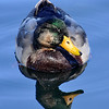 Beautiful mallard...taken at a lake in Colorado!