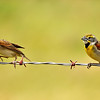I don't think the dickcissel wanted to share the fence with the other one!!