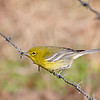 This is the male pine warbler that goes with the female I posted yesterday! They are the cutest little birds.