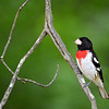The Rose-Breasted Grosbeak is such a beautiful bird..I've been having lots of beautiful birds lately!