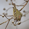 Ruby Crowned Kinglet...love their little crown!<br /> <br /> Wow..Thank you all so very much for the comments on my pine warbler..that is actually one that I want to have framed.