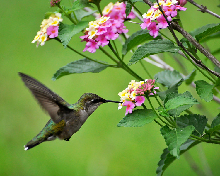 The hummers love the lantana..if only the sun would come out!