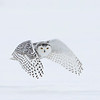 Snowy Owl, female, in a light snow storm.  If you enlarge the photo, you will notice the snow flakes.