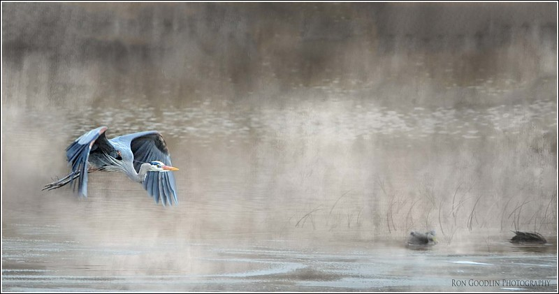 Great Blue Heron in mist.