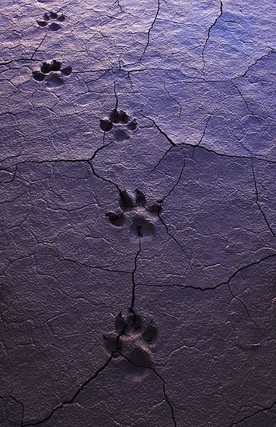 coyote_tracks_Death_Valley