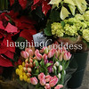 Title: Tulips invade a Christmas Flower display