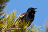 Red-winged blackbird-2899