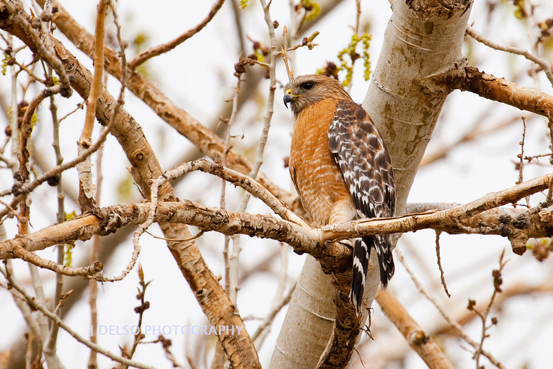 Sharp-Shinned Hawk-10