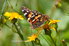 Painted Lady-1