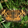Pearl Crescent with the 70-300mm lens + the Nikon 5T close up filter