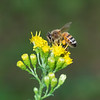 Honeybee  with the 70-300mm lens + the Nikon 5T close up filter