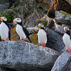 A Horned Puffin Family