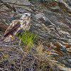 A Rough-legged Hawk on nest.