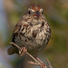 A curious Song Sparrow - Blue Rocks, NS