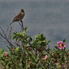 An artistic rendition of Savannah Sparrow on a flowering bush - Mahone Bay, NS