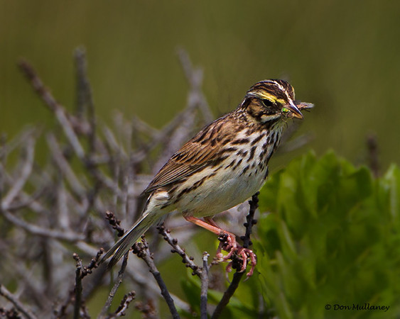 Savannah Sparrow with Greenhead Fly-Cherry Hill Beach, NS