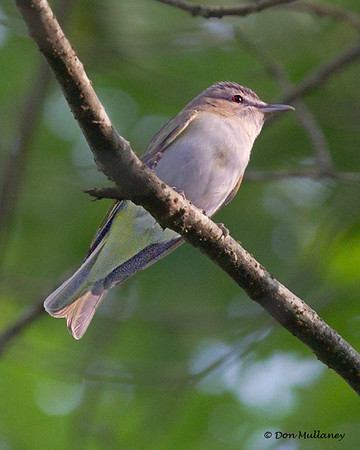Red-eyed Vireo - Mahone Bay, NS