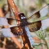 Widow Skimmer, Skyline Ridge OSP, San Mateo County, 28-July-2013