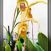 Phragmipedium Grande.<br /> <br /> 07/07/2014