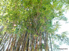 Bamboo on Walk from Universal CityWalk 26-09-2013 21-54-10