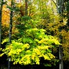 5 17 2015 Striped maple, our back yard, Saranac Lake,  oct 4, 2012