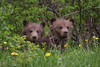 Two Curious Grizzly Cubs