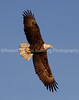 28) American Bald Eagle on Mississippi River - Red Wing, Minnesota