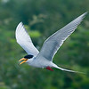 Indo-Burma Hotspot, River Tern along the Mekong River © Gordon Congdon/WWF-Cambodia