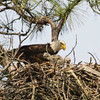 Cliff Collings, a City of Gulf Shores employee, shares picture of of bald eagles in the nest with eaglets at Gulf State Park.