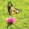 Barbara Helms shares a picture of a butterfly feeding in her backyard.