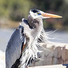 Cliff Collings, a City of Gulf Shores employee, shares pictures of a heron catching rays at Pelican Point and bald eagles in the nest with eaglets at Gulf State Park.
