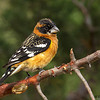 Black-headed Grosbeak - Green Valley, AZ