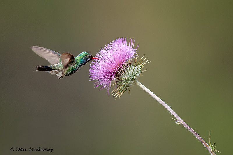 Broad-billed Hummingbird feeding on a thistle - Green Valley, AZ