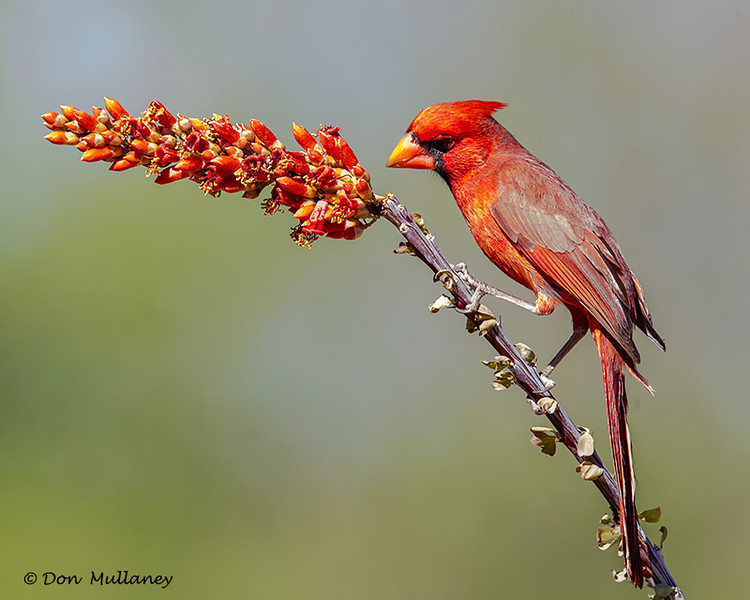 Male Northern Cardinal - Green Valley, AZ