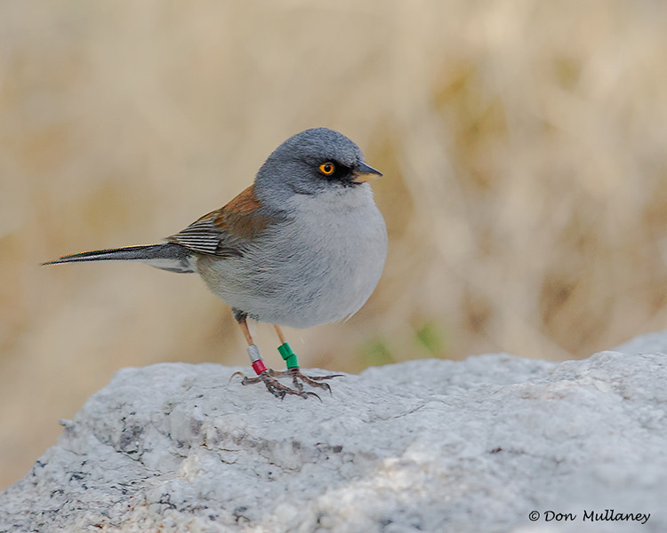 "A Yellow-eyed Junco wearing all it's ""bling"". The bands indicate to researchers the range of the bird and other info. - Mt. Lemmon, AZ"