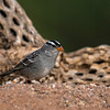 White-crowned Sparrow - Green Valley, AZ