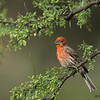 A male House Finch - Green Valley, AZ