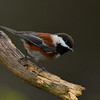 Chestnut-backed Chickadee, near Victoria, BC