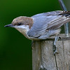 Brown-headed Nuthatch, Chapel Hill, NC
