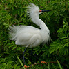 Snowy Egret, High Island, Texas