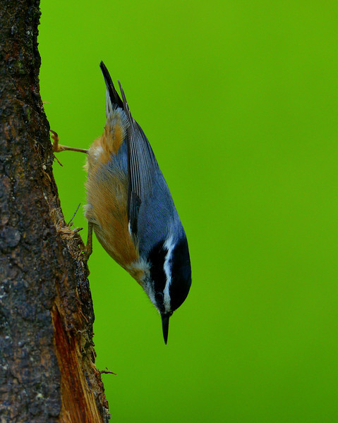 Red-breasted Nuthatch, male, near Victoria, BC