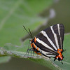 Zebra-striped Hairstreak, NABA, Mission, Texas