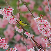 American Goldfinch in Flowering Japanese Cherry, March 16 2013.