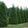 Thuja plicata 'Green Giant'<br /> <br /> Green Giant Arborvitae<br /> 30-40'+ mature height. <br /> Fantastic screening tree!