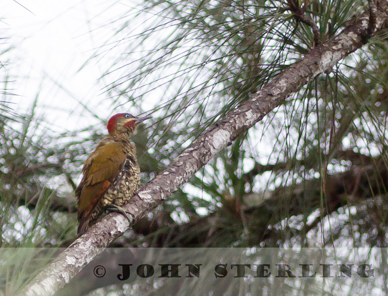 Striped-cheeked Woodpecker, Panama