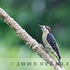 Black-cheeked Woodpecker, Panama