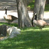 Canadian Geese beside little pond at Cemetery.