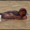 Common (Ferruginous)  White-eyed Duck   (Aythya nyroca)     Prey extensively in insect larvae  Courting males utter high-pitched whistles  Scarce in American waterfowl collections, but bred regularly at Sylvan Heights Waterfowl Park